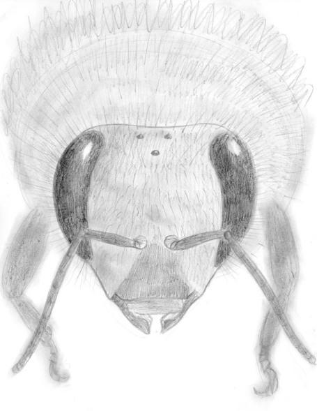 zooptique_abeille dessin